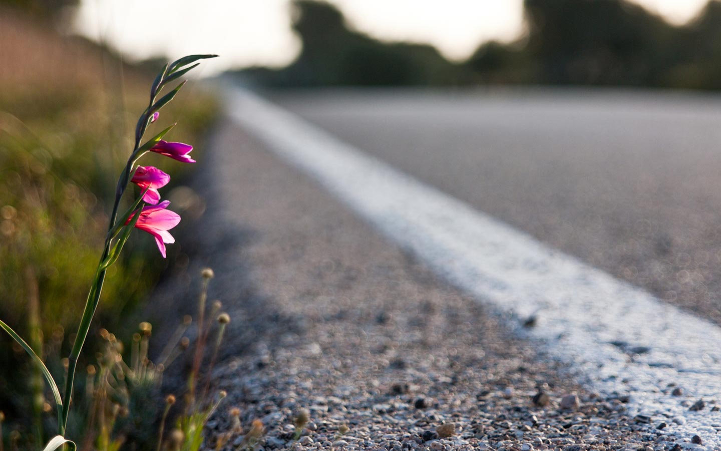 pink-flower-by-the-road-hd-free-abstract-wallpaper